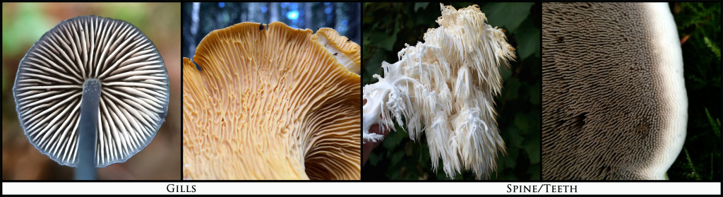 Gills_Spines_Pics