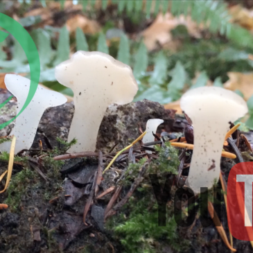 Weekly Fast Forage: Toothed Jelly Fungi